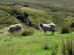 english countrysid enad sheeps